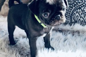 Pug for Rehoming