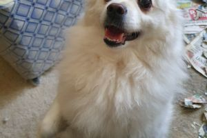 German Spitz Wanted in the UK