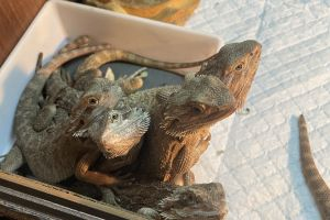 Bearded Dragon Reptiles and Amphibians Breed