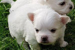 Maltese Advertisement UK Pets