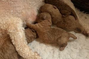 Toy Poodle For Sale in Great Britain