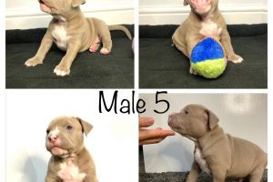 American Bully For Sale in the UK