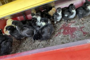 Chicken for Rehoming