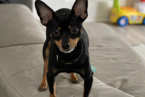 Russian Toy Terrier For Stud in Lodon