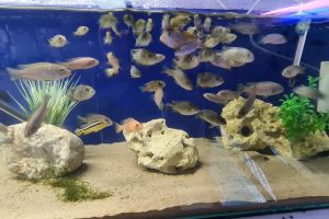 Cichlid For Sale in the UK