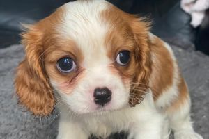 King Charles Spaniel For Sale in Great Britain