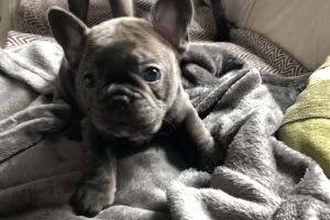 French Bulldog Advertisement UK Pets