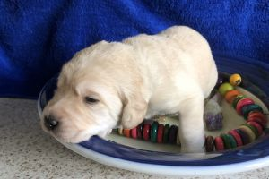 Labradoodle For Sale in Great Britain