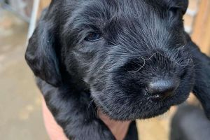 Cute Labradoodle For Sale