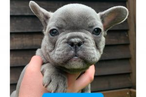 French Bulldog For Sale in the UK