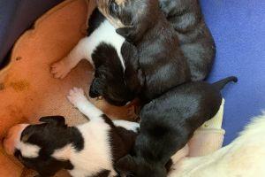Cute Beagle For Sale