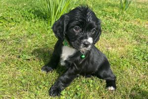 Cocker Spaniel Online Listings