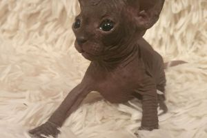 Sphynx For Sale in Great Britain