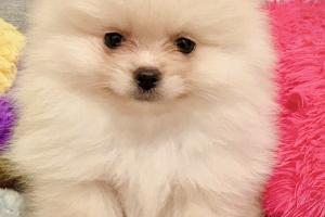 Pomeranian Online Ad