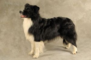 Border Collies Wanted