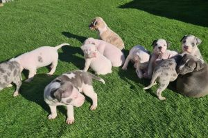 Staffordshire Bull Terrier For Sale in the UK
