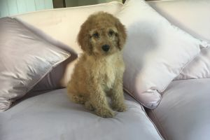 Cavapoo Rabbits Breed