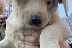 Labrador Retriever for Rehoming