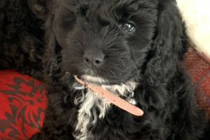 Cockapoo Online Listings