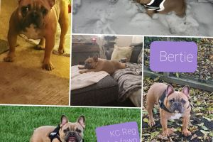 French Bulldog for Rehoming