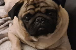Pug Advertisement UK Pets