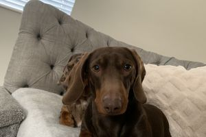 Dachshund For Stud in Great Britain