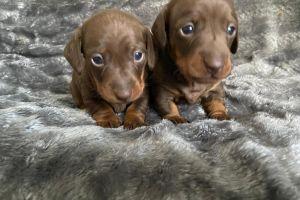 Miniature Dachshund Dogs Breed