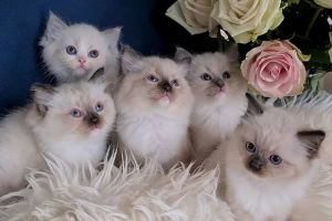 Ragdoll For Sale in Lodon