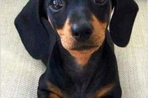 Dachshund Wanted in the UK