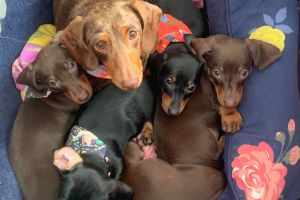 Dachshund Online Listings