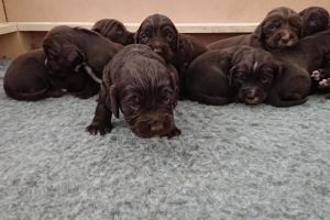 Sprocker For Sale