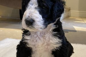 Bernese Mountain Dog Dogs Breed