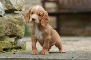 Sprocker Wanted in Great Britain