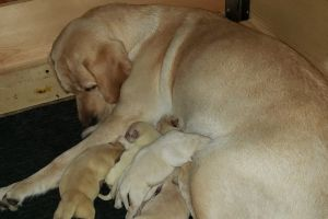 Labrador Retriever Dogs Breed