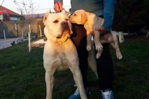Cane Corso for Rehoming