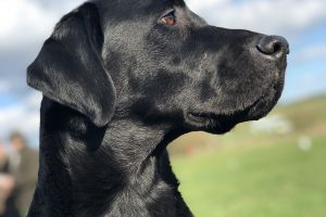 Labrador Retriever For Stud in the UK