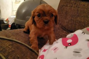 Cavalier King Charles Spaniel For Sale in Great Britain