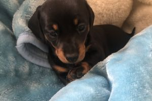 Dachshunds for Rehoming