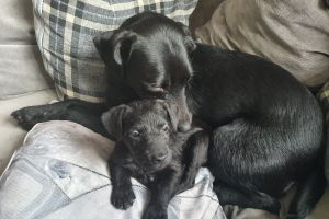 Patterdale Terrier For Sale in Great Britain