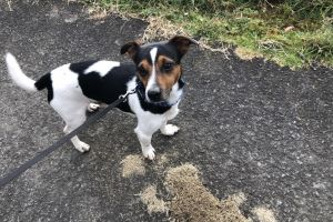 Cute Jack Russell For Stud