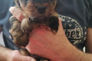 Yorkshire Terrier Online Ad