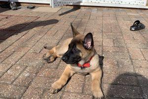 Cute Belgian Shepherd Dog For Sale