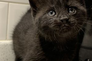 British Shorthair For Sale