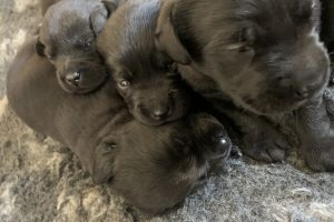 Labrador Retriever For Sale in Great Britain