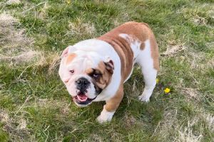 Cute English Bulldog For Sale