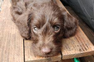 Cockapoo Advertisement UK Pets