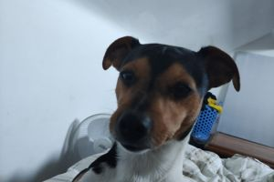 Jack Russell For Stud in the UK
