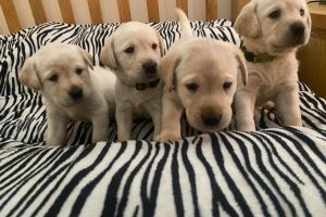 Cute Labrador Retriever For Sale