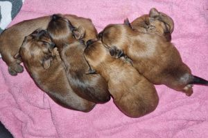 Yorkshire Terriers for Rehoming