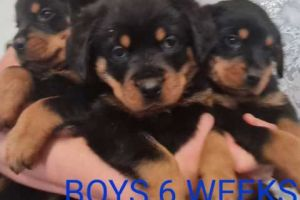 Available Rottweilers